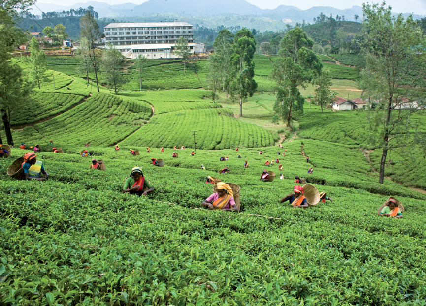 great-western-tea-estate-fo