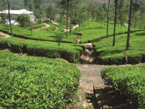 Jardin de thé - Camellia Sinensis