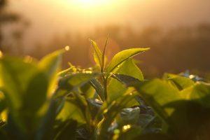 feuille de thé bourgeon